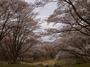 屏風岩公苑の桜_2013yaotomi_8f.jpg