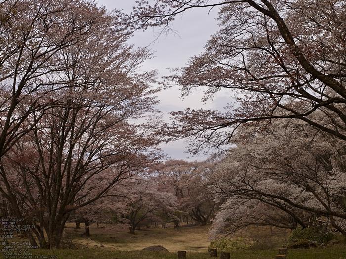 屏風岩公苑の桜_2013yaotomi_8s.jpg