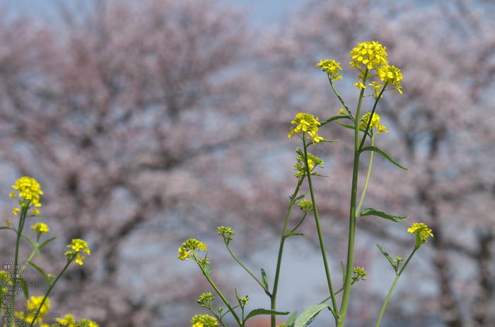 箸尾(高田川)_桜_2013yaotomi_12s.jpg