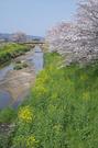 箸尾(高田川)_桜_2013yaotomi_15s.jpg