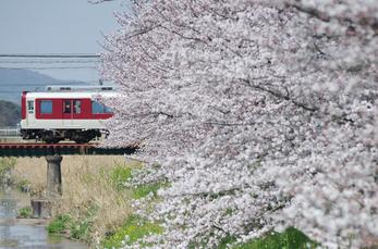 箸尾(高田川)_桜_2013yaotomi_18s.jpg