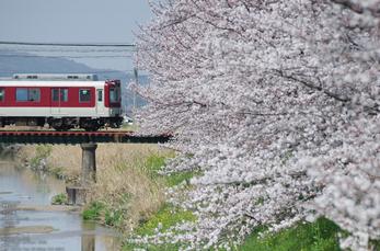 箸尾(高田川)_桜_2013yaotomi_20s.jpg