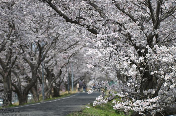 箸尾(高田川)_桜_2013yaotomi_5s.jpg