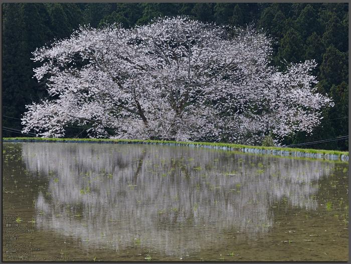 諸木野の桜_2013yaotomi_1st.jpg