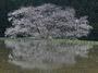 諸木野の桜_2013yaotomi_2f.jpg