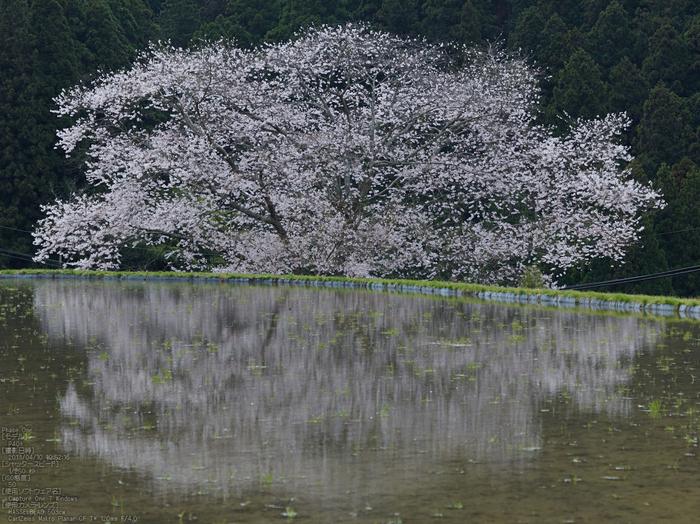 諸木野の桜_2013yaotomi_2s.jpg