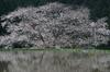 諸木野の桜_K5IIs_2013yaotomi_3f.jpg