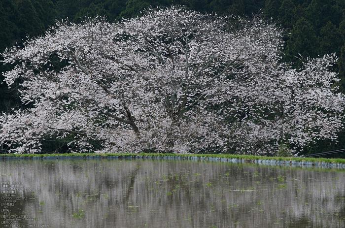 諸木野の桜_K5IIs_2013yaotomi_3s.jpg