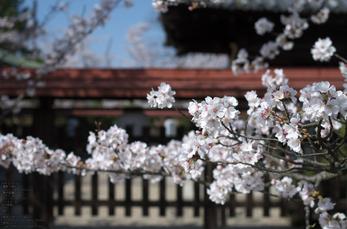 郡山城跡_桜_2013yaotomi_10s.jpg