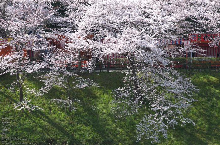 郡山城跡_桜_2013yaotomi_12s.jpg