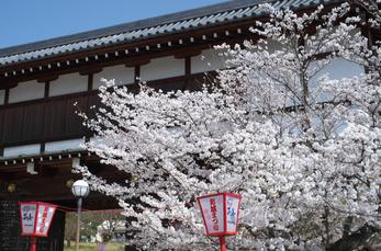 郡山城跡_桜_2013yaotomi_20s.jpg