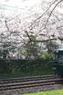 郡山城跡_桜_2013yaotomi_27s.jpg