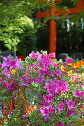 大田神社の杜若_2013yaotomi_23s.jpg