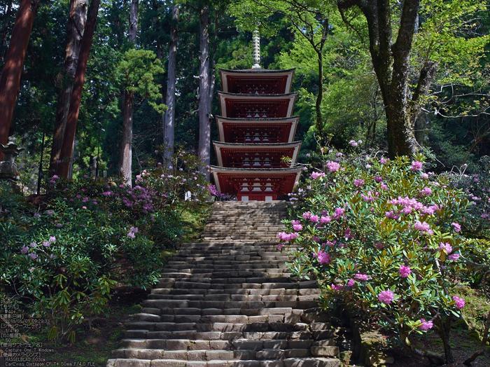 室生寺の石楠花_2013yaotomi_12s.jpg