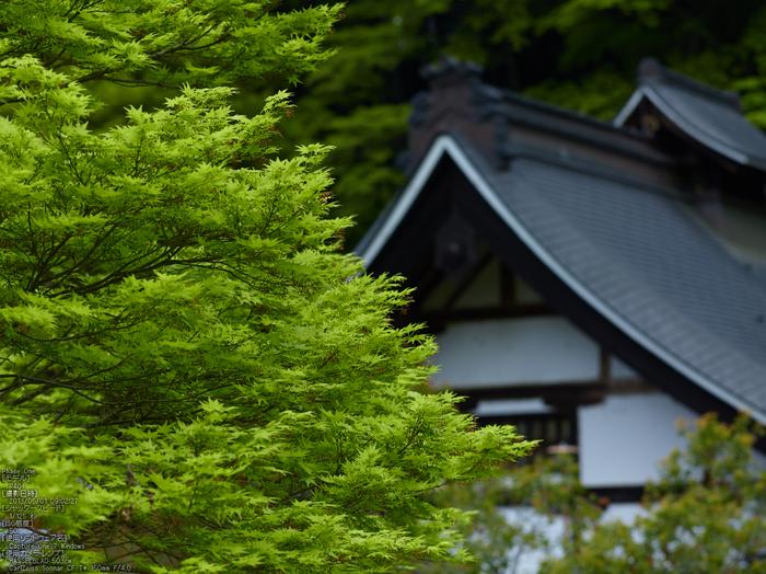 室生寺の石楠花_2013yaotomi_3s.jpg