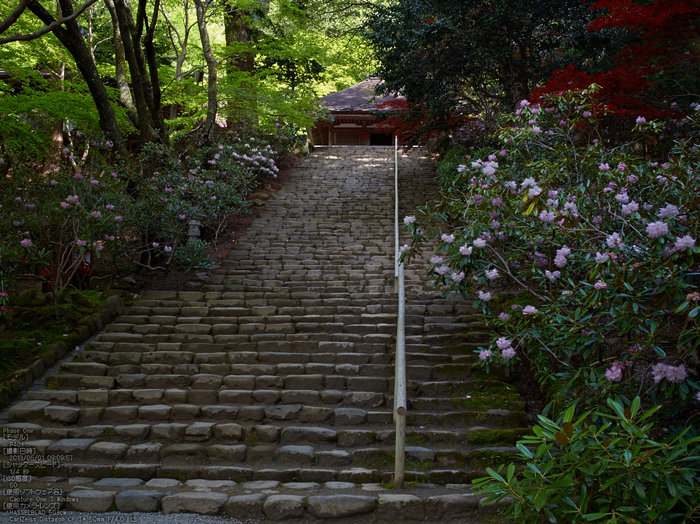 室生寺の石楠花_2013yaotomi_7s.jpg