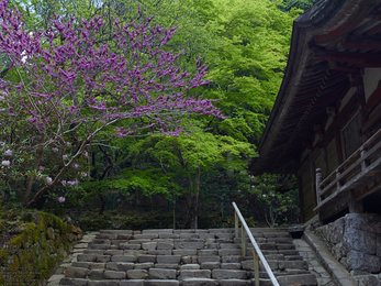 室生寺の石楠花_2013yaotomi_8s.jpg