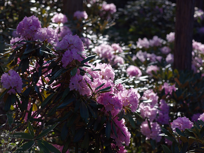 弁財天石楠花の丘_LeafAptusII8_2013yaotomi_17s.jpg