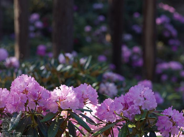 弁財天石楠花の丘_LeafAptusII8_2013yaotomi_18s.jpg