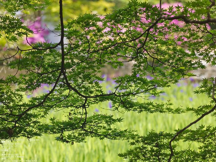 長岳寺のツツジ_2013yaotomi_15s.jpg