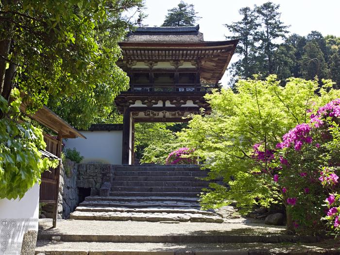 長岳寺のツツジ_2013yaotomi_5s.jpg