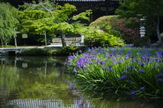 長岳寺の杜若_DP1m_2013yaotomi_11s.jpg