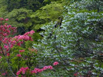 鳥見山のツツジ_2013yaotomi_5s.jpg