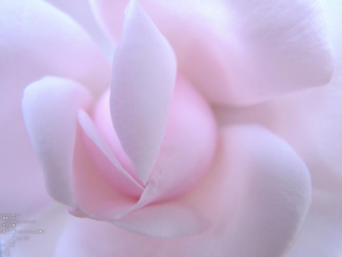 おふさ観音の薔薇_2013yaotomi_65s.jpg