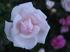 おふさ観音の薔薇_2013yaotomi_68f.jpg