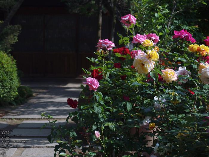 おふさ観音の薔薇_2013yaotomi_7s.jpg