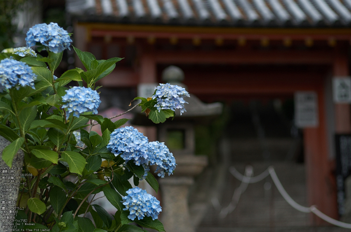 PENTAX K-5IIs with SMC PENTAX FA 77mm F1.8 Limited 矢田寺 あじさい(紫陽花)