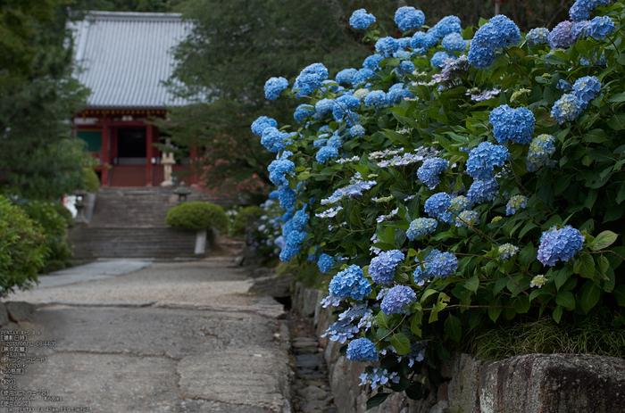 矢田寺あじさい_2013yaotomi_5s.jpg