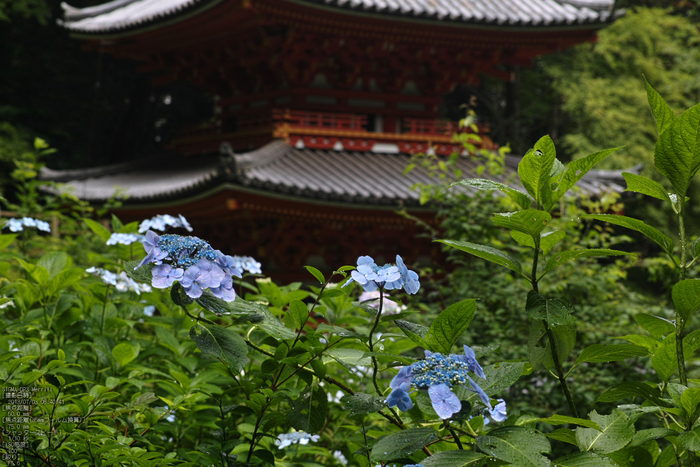 岩船寺の紫陽花_2013yaotomi_11s.jpg