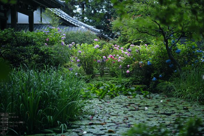 岩船寺の紫陽花_2013yaotomi_18s.jpg
