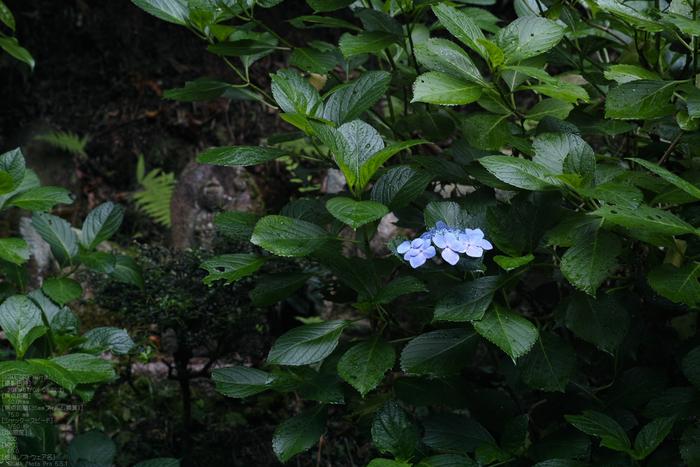 岩船寺の紫陽花_2013yaotomi_7s.jpg