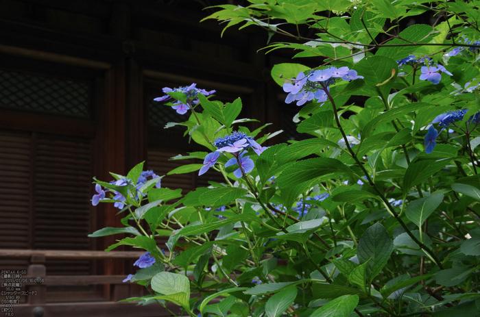 柳谷観音の紫陽花_2013yaotomi_13s.jpg