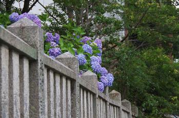 柳谷観音の紫陽花_2013yaotomi_3s.jpg