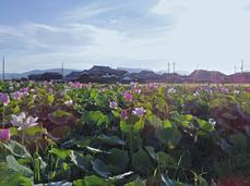 藤原宮跡の蓮の花_2013yaotomi_12s.jpg