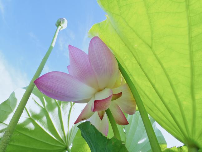 藤原宮跡の蓮の花_2013yaotomi_30s.jpg