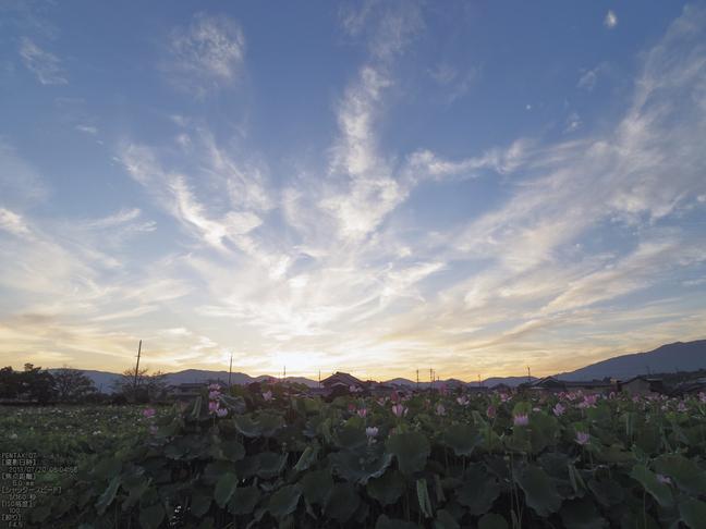 藤原宮跡の蓮の花_2013yaotomi_5s.jpg