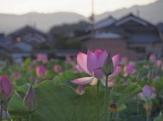 藤原宮跡の蓮の花_2013yaotomi_7s.jpg