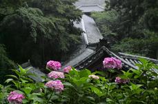 長谷寺の紫陽花_2013yaotomi_11s.jpg