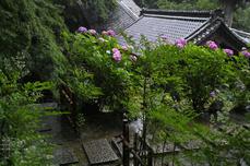 長谷寺の紫陽花_2013yaotomi_13s.jpg
