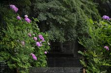 長谷寺の紫陽花_2013yaotomi_15s.jpg