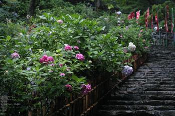長谷寺の紫陽花_2013yaotomi_17s.jpg