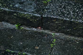 長谷寺の紫陽花_2013yaotomi_18s.jpg