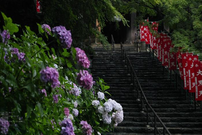 長谷寺の紫陽花_2013yaotomi_32s.jpg