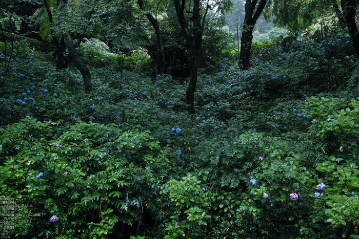 長谷寺の紫陽花_2013yaotomi_33s.jpg