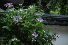 長谷寺の紫陽花_2013yaotomi_37s.jpg