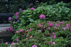 長谷寺の紫陽花_2013yaotomi_38s.jpg